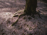 Soft Light on a Pink Carpet of Fallen Cherry Blossoms