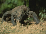 A Komodo Dragon Sensing the Air with its Tongue as it Prowls