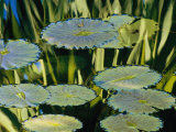 Water Lily Pads on the Surface of a Chicago Botanic Garden Pool