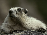 A Hoary Marmot on Alert for Predators