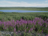 Fireweed Blooms on the Tundra Near a Lake