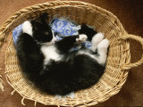 A Black-And-White Domestic Short-Hair Kitten Sleeps in His Basket