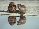 A Pair of Beavers Reflected on the Surface of a Thawing Lake