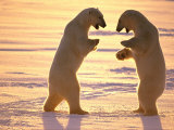 Two Polar Bears Square off for a Fight