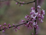 Close View of Redbud Tree Blossoms