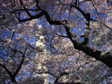 Japanese Cherry Blossoms Frame a View of the Washington Monument