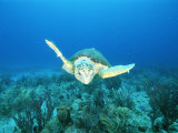 An Endangered Loggerhead Turtle Swims Gracefully Along the Sea Floor