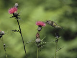 A Female Ruby-Throated Hummingbird Sips Nectar from a Thistle