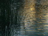 Sunlight Reflects on Rippled Water with Silhouetted Grasses