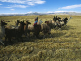 A Herder Walks Her Flock of Llamas Towards Lake Titicaca