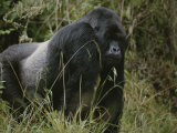 A Silverback Mountain Gorilla in Rwandas Virunga Mountains