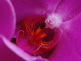 A Close View of the Inside of a Moth Orchid