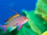A Scalefin Anthias Fish  Anthias Squamipinnis