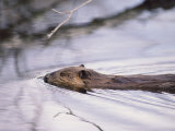 Beaver Swimming in the Sheenjek River