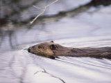 Beaver Swimming in the Sheenjek River Papier Photo par George F. Mobley