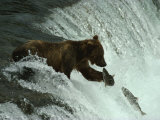 A Grizzly Bear Fishes in the Middle of a Waterfall