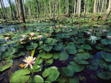 Fragrant Water Lilies Cover a Virginia Swamp
