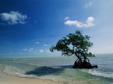 A Mangrove Tree Has Establishd Roots in the Shallow Waters of the Long Key State Recreation Area
