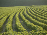 Soybean Crop Ready to Harvest in the Late Afternoon Sun