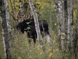 A Moose (Alces Alces Americana) with an Impressive Set of Antlers