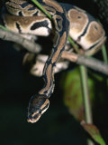 A Ball Python in a Tree