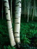White Birch Trees Crowd the Base of Mount Washington
