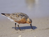 Red Knot Sandpiper Eating Horseshoe Crab Eggs