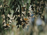 A Group of Monarch Butterflies Cluster Together to Over-Winter