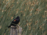 A Red-Winged Blackbird Sits on a Post Amid Tall Grasses