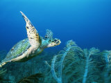 An Endangered Hawksbill Turtle  Eretmochelys Imbricata  Swims in a Blue Sea