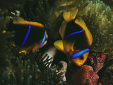 Orange-Fin Anemonefish Inspects Eggs Laid by Mate in Sea Anemone