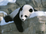 A Panda Rests in the Snow at the National Zoo in Washington  Dc