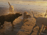 Water Drops Fly as Dogs Shake Themselves on a Beach