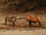 A Male and Female Warthog Rub Noses