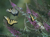A Group of Yellow Swallowtail Butterflies on Flowers