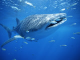 Small Fish Swim Along with a Whale Shark  Rhincodon Typus