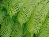 Close View of Tree Ferns or Hapuu-Pulu