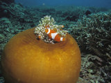 Clown Anemonefish Swim Past a Large Sea Anemone
