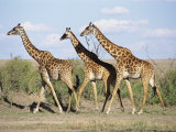 Three Giraffes Walk Together