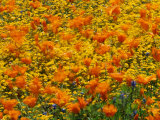 California Poppies and Goldfields Dance in the Wind after a Rainfall