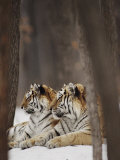 Two Siberian Tigers at Rest