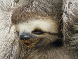 Close Portrait of a Three Toed Sloth