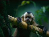 A Capuchin Monkey  Orphaned after Poachers Killed its Mother  Sits in a Tree