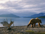A Grizzly Ambles Past the Weathered Antlers of a Moose on the Shores of Naknek Lake