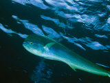 A Close View of a Dolphin Fish  Also Known as Mahi Mahi  Swimming in the Sea
