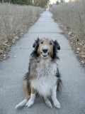 A Sheltie Dog Smiles While Sitting on a Neighborhood Sidewalk