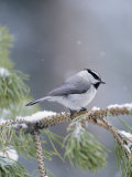 A Mountain Chickadee Weathers a Winter Snowstorm in a Pinetree