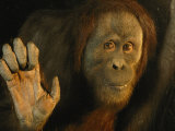 Orangutan (Pongo Pygmaeus)