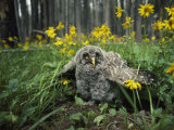 Great Gray Owlet on the Ground Amid Arnica and Grasses