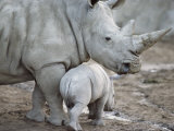 A Large White Rhinoceros and its Young